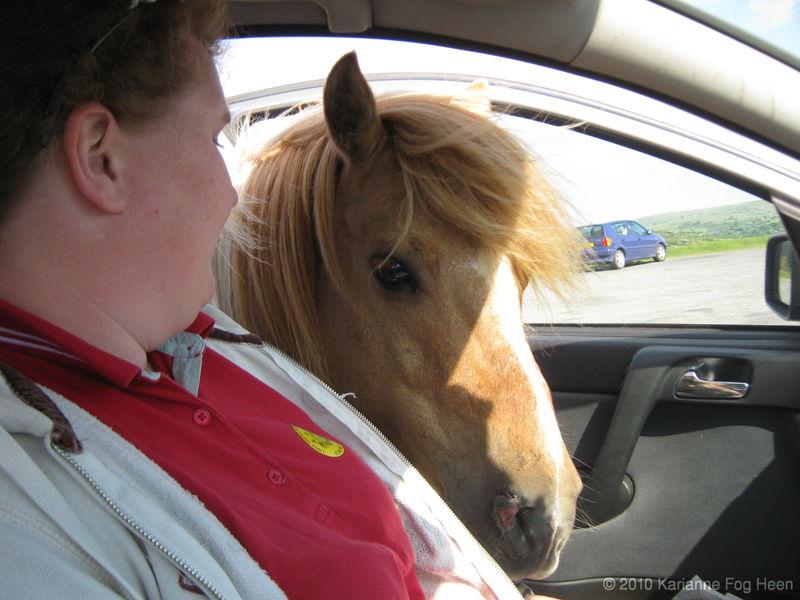 Horse in car